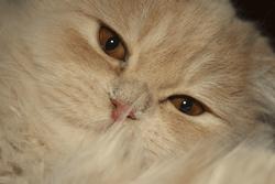 какая порода кошек мне подходит