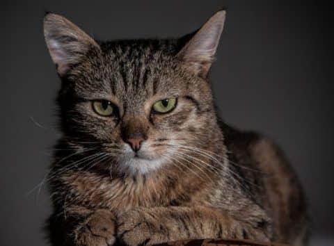самая древняя порода кошек
