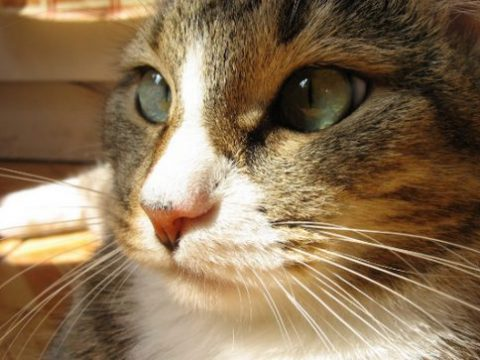 самые неприхотливые породы кошек