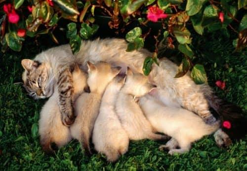сколько котят может родить кошка