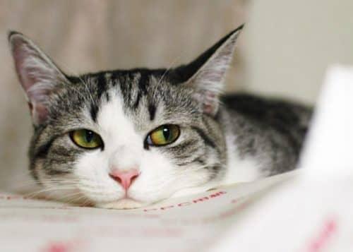 народное лечение лишая у кошек