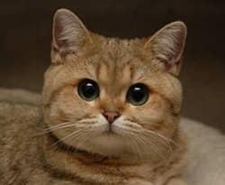 породы британских кошек, фото