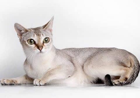 самая маленькая порода кошек, какая порода кошек самая маленькая
