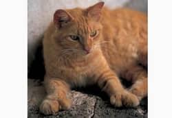породы больших кошек с фото