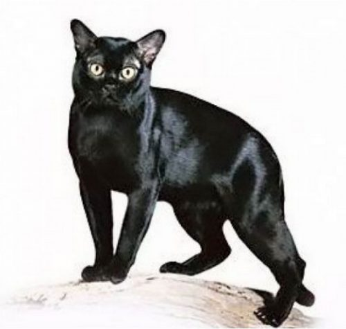 породы черных кошек с фото