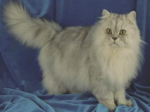 породы домашних кошек с фото
