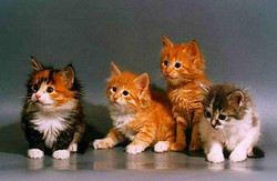породы рыжих кошек, фото