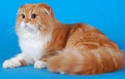 породы кошек вислоухие, фото