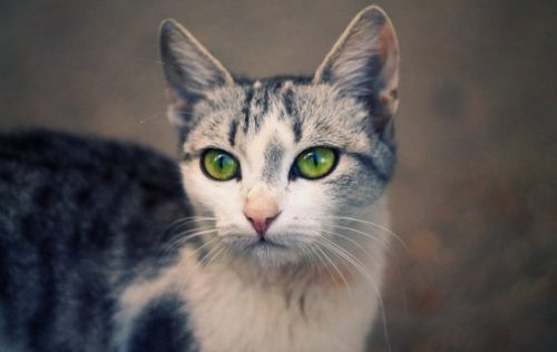 ушные болезни у кошек