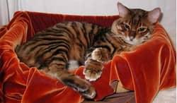 породы полосатых кошек