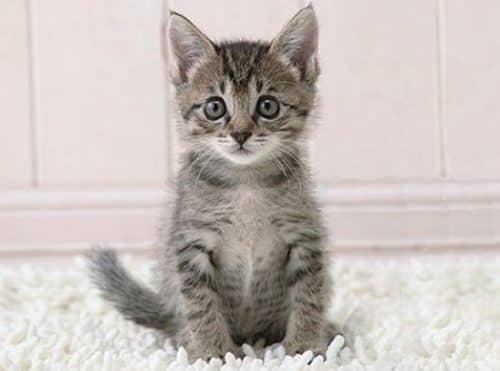 лечение ушей у кошек