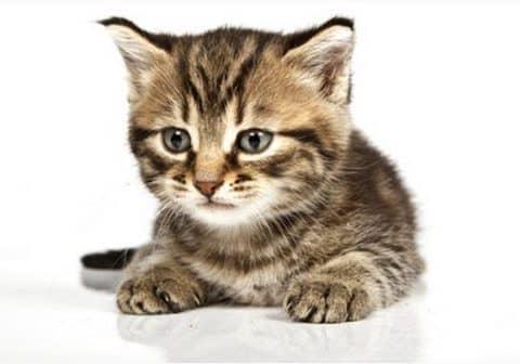 лечение гастрита у кошеклечение гастрита у кошек
