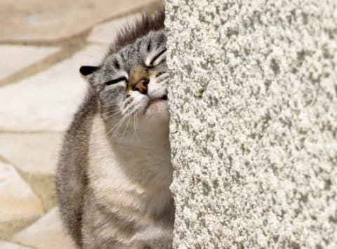 глисты у кошки, легочные глисты у кошек