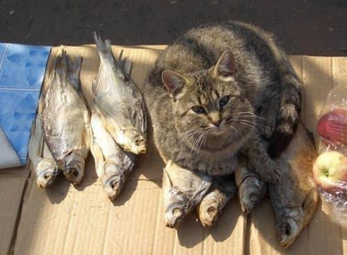 какой рыбой кормить кошку