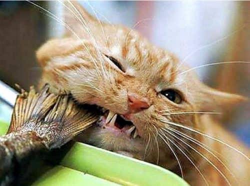 почему кошкам нельзя есть рыбу