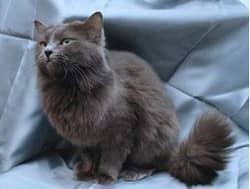 породы пушистых кошек