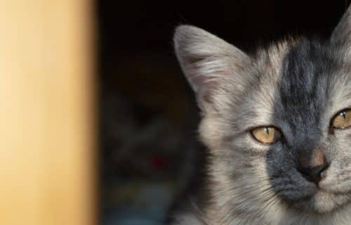 к чему снятся коты
