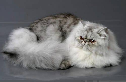 виды персидских кошек