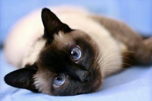виды сиамских кошек