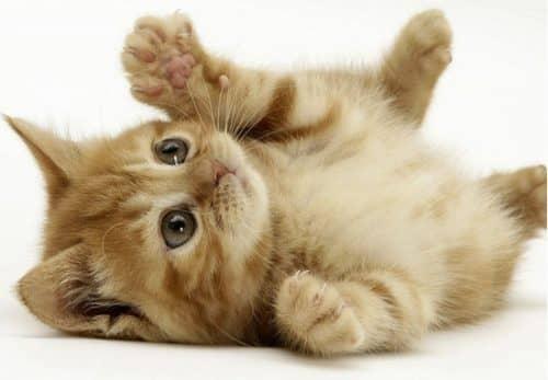 как определить настроение кошки