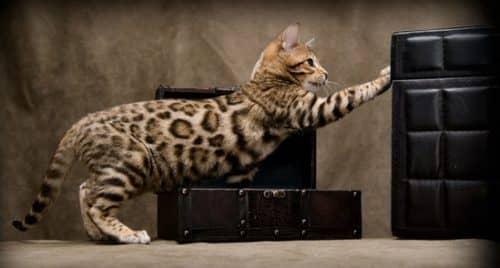 кормление бенгальского кота
