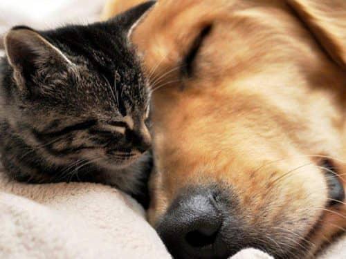 приучить собаку к котенку