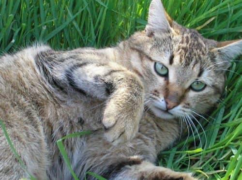 Первая беременность у кошки