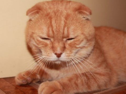 сколько стоит шотландский котенок