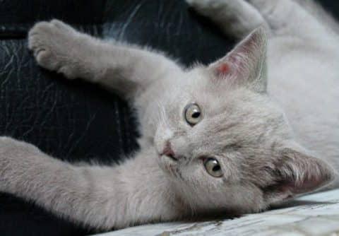 сколько стоит сделать комплексную прививку котенку