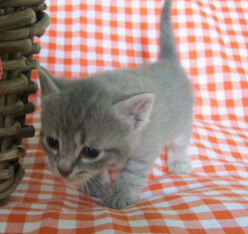 срок вынашивания котят у кошки