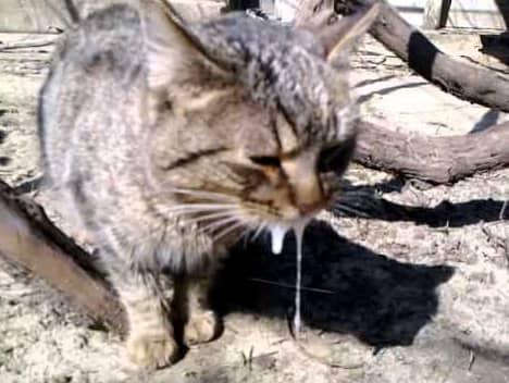 Бешенство у кошек: симптомы