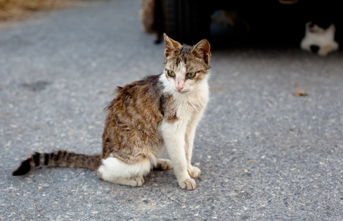 Кошачий вирус иммунодефицита
