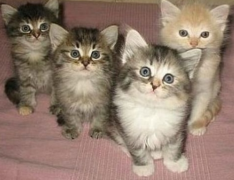 Кошачья чумка