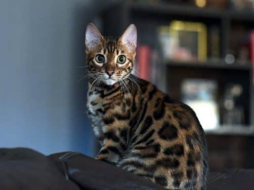 Бенгальская порода кошек