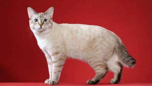 Фото кота бобтейла