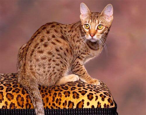 Калифорнийская кошка