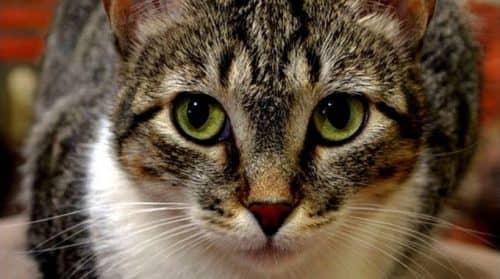 Бразильская порода кошек