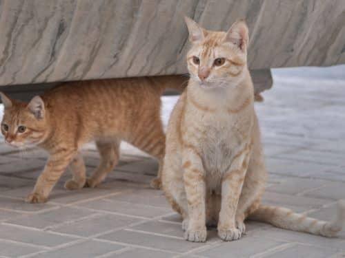 Рыжий кот аравийский мау