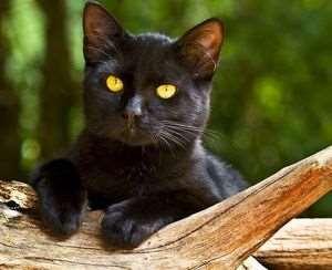 Бомбейская кошка: домашняя пантера с индийскими корнями