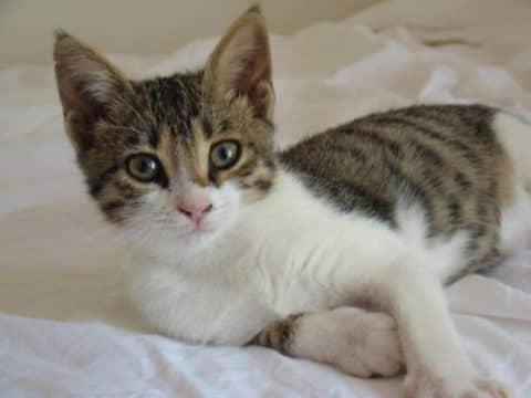 Фото бразильской кошки