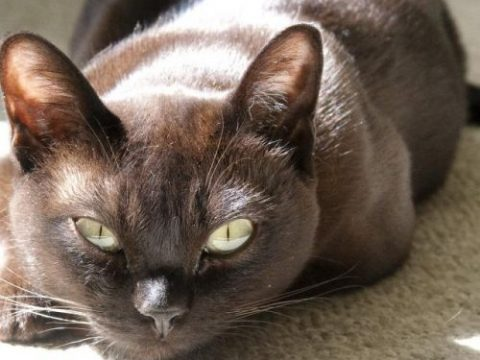 Фото бурманской кошки