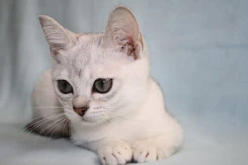 Котенок бурмиллы