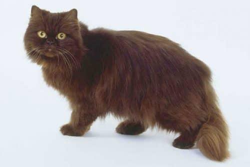 Фото йоркской шоколадной кошки