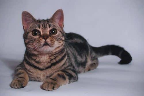 Азиатская кошка табби