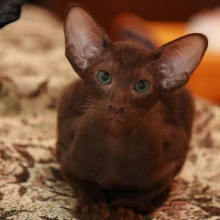 Фото кошки породы гавана