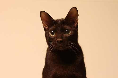 Ориентальная кошка гавана