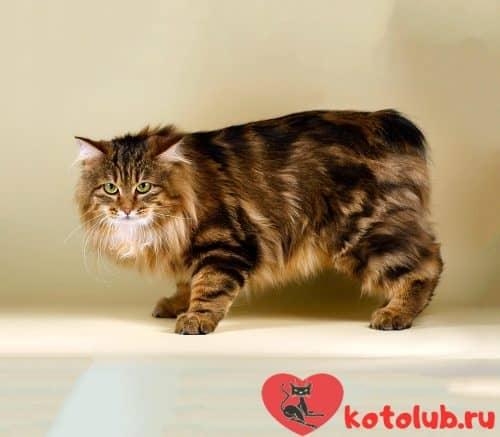 Кошка курильского бобтейла