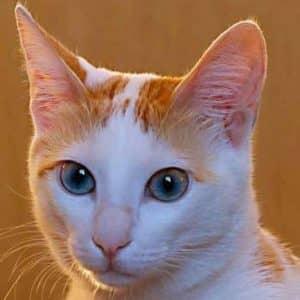 Кошка породы аравийский мау