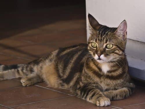 Европейская порода кошек