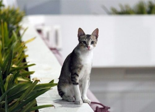 Порода кошек аравийский мау